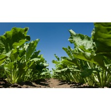 Семена Сахарной свеклы Авторитетный (Раундап )