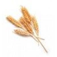 Семена озимой пшеницы Симонида (Сербия)