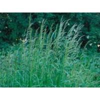 Семена Райграcа многолетниго