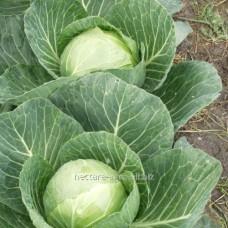 Семена капусты белокочанной Сир F1