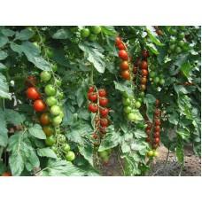 Семена томата Хилма F1