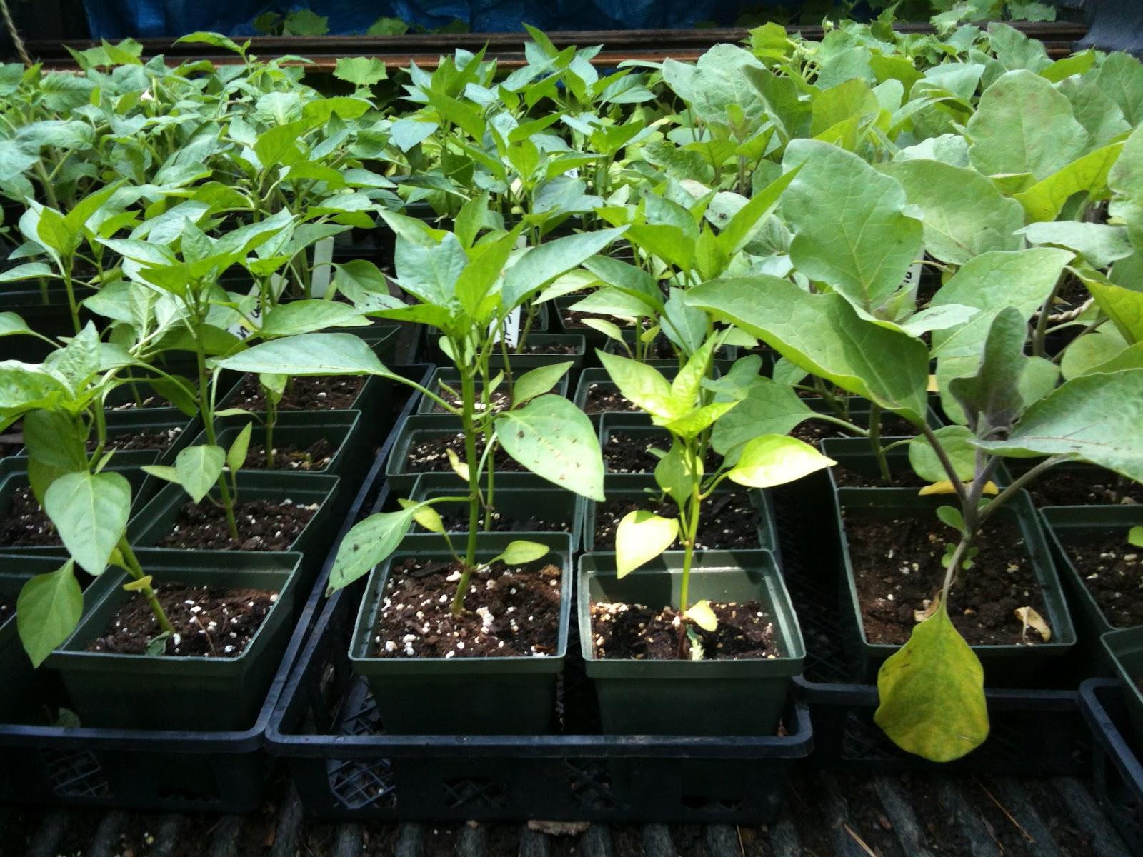 купить семена баклажанов в Украине